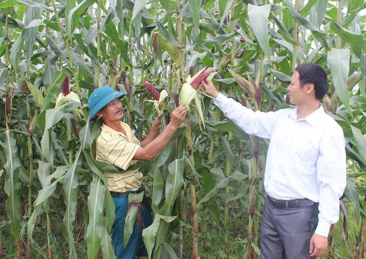Ngô tím được trồng tại ngoại thành Hà Nội