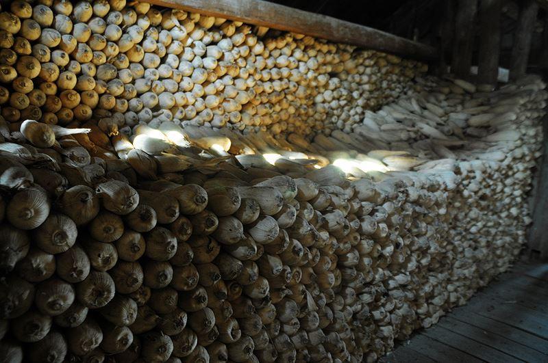 Ngô khô được bảo quản trong kho