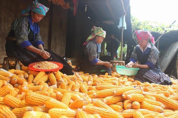Ngô Lai Châu chắc nịch, vàng óng, chất lượng rất tốt