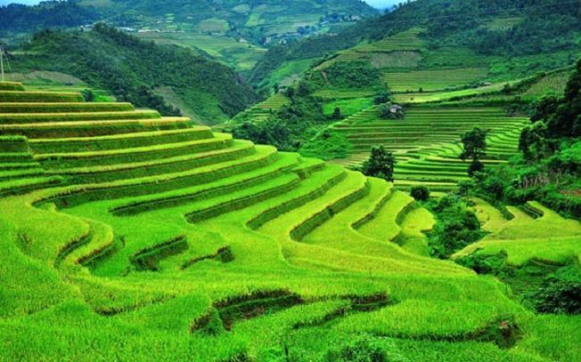 Vùng nguyên liệu lúa Séng Cù an toàn để phục vụ ngâm rượu đòng đòng.